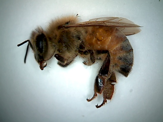 Monsanto's Roundup kills bees