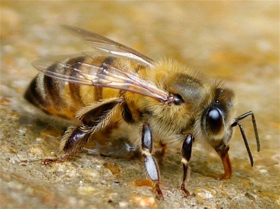 Bee colony collapse not due to inbreeding