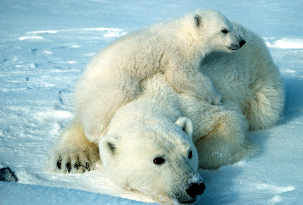 Polar bears traced to a single Irish ancestor