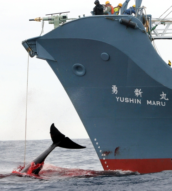 Australia takes Japan to court to stop whaling hunts.