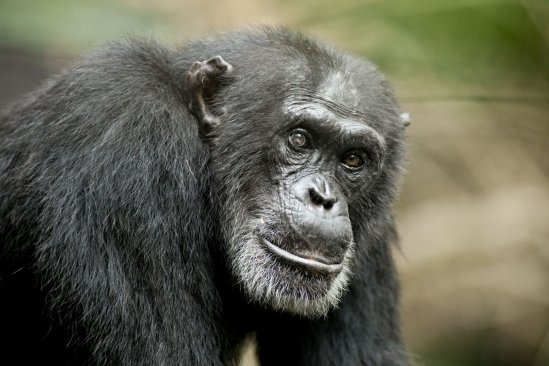 U.S. Research Chimps Heading to New Homes