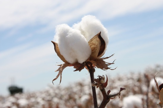 Chinese scientists crack the genome of another diploid cotton Gossypium arboreum