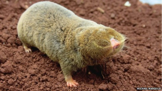 Cancer-resistant blind mole rat gets genome sequence